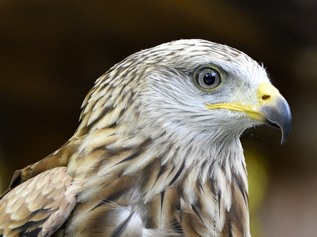 image-8464187-21Young_red_kite1.jpg
