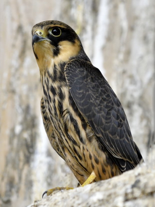 image-8576267-Tree_falcon1.w640.jpg